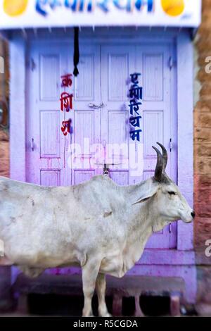 Vacca in porta, Jodhpur, Rajasthan, India Foto Stock