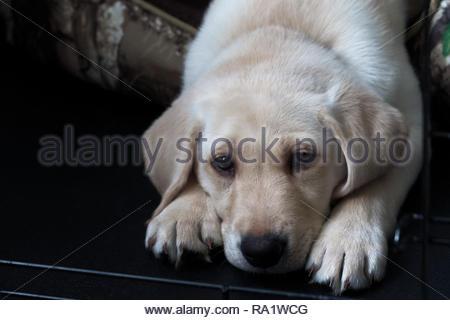 Giallo Labrador retviever cucciolo di cane Foto Stock