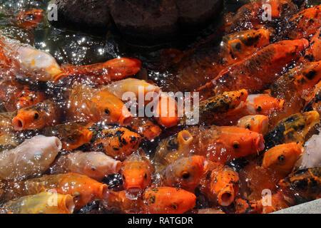 Una massa di sciamare pesci koi in attesa di essere alimentato Foto Stock