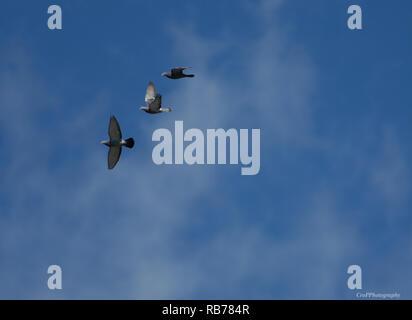 Piccioni in volo contro il cielo blu Foto Stock
