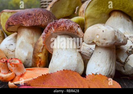 Vista ravvicinata di un mazzetto di autunno i funghi commestibili, principalmente il Boletus Edulis e alcuni Lactarius deliciosus su una superficie di legno di una quercia vecchia tabella Foto Stock