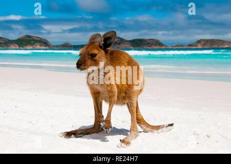 Kangaroo su Lucky Bay Spiaggia di sabbia bianca - Australia Foto Stock