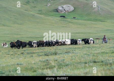 Pastore su una moto raccogliendo il suo yak. Distretto Tariat, Nord provincia Hangay, Mongolia. Foto Stock