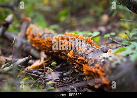I funghi che crescono su log in Allegheny National Forest, PA Foto Stock