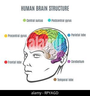 Struttura del cervello umano. Testa umana con all'interno del cervello. Cervello umano parti principali. Illustrazione Vettoriale. Foto Stock