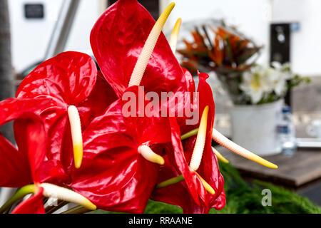 Bouquet di red Anthurium andraeanum (Flamingo gigli) Foto Stock