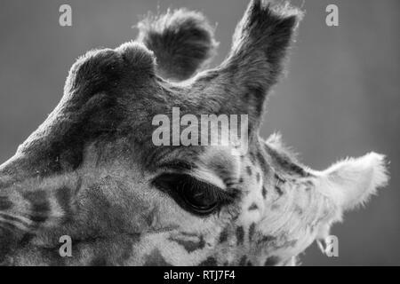 Testa della giraffa o Giraffa camelopardalis in monocromia Foto Stock