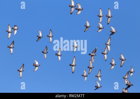 Gregge di sport piccioni viaggiatori volare contro un bellissimo profondo cielo blu durante la loro quotidiana formazione per la concorrenza Foto Stock