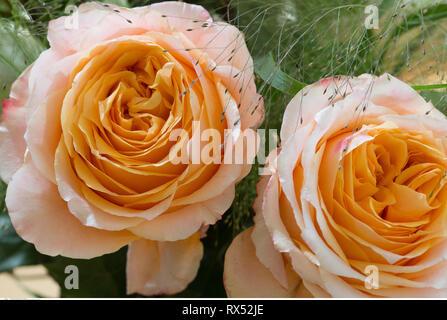 La botanica, rose fiore del tipo 'Caraluna', attenzione! Per Greetingcard-Use / Postcard-Use nei Paesi di lingua tedesca talune restrizioni possono applicare Foto Stock