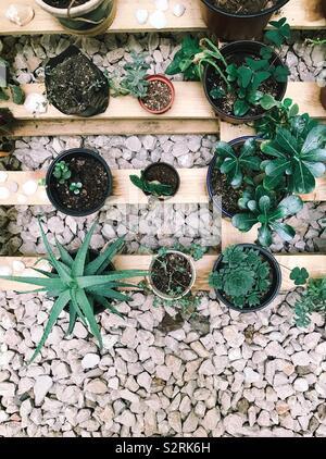 Gruppo di piante succulente su un vassoio in legno e pavimento di ghiaia. Aloe, hecheveria, e altri. Oaxaca de Juarez, Oaxaca, Messico. Il 4 luglio 2019 Foto Stock
