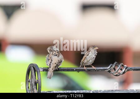 Due casa passero uccelli giovane appollaiato sulla ringhiera in città vecchia Varsavia, Polonia closeup con sfondo bokeh preening piume Foto Stock