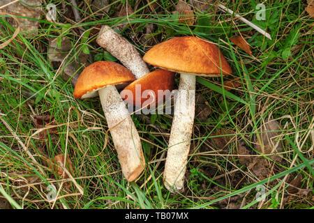 Vista dall'alto in basso, rosso-capped scaber funghi della levetta monocomando ( Leccinum aurantiacum ) appena raccolti, che stabilisce nell'erba. Foto Stock