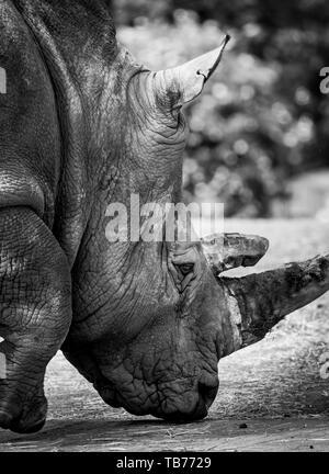 Dettagliato, close-up vista laterale: rinoceronte bianco del Sud (testa e spalle). Ceratotherium simum al di fuori di sun. Arty, nero & bianco fotografia animale. Foto Stock