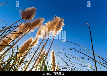 Pampa erba aka Cortaderia selloana silhouette o retroilluminato, contro un cielo blu durante il Sunrise, all'alba o al tramonto Foto Stock