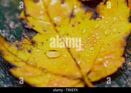 Foto macro di un acero giallo lasciare sulla terra sotto la pioggia coperti in gocce di pioggia Foto Stock
