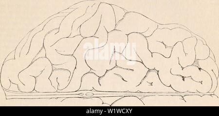 Immagine di archivio da pagina 708 della encyclopaedia - Wikizionario di anatomia e. Il encyclopaedia - Wikizionario di anatomia e fisiologia cyclopdiaofana03todd Anno: 1847 NEItVOUS centri. (Anatomia umana. Il EMCEPIIALON.) Fig. 394. 695 La superficie superiore dell'emisfero destro del cervello umano adulto. La forma ondulata di molte delle convoluzioni è molto ben visto e i caratteri generali della superficie ondulata sono visualizzati. del coniglio, il castoro, la cavia, agouti riferite queste fessure. Essi sono generalmente regolare in diversi individui dello stesso genere, e essi sono simmetrici, cioè della stessa le Foto Stock