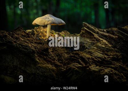 Fungo cresce su vecchi log di marcio nella foresta Foto Stock