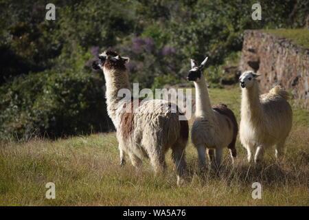 Tre llama godere della reciproca compagnia a Machu Picchu Foto Stock