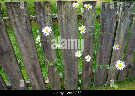 Pratoline inserimenti attraverso un vecchio di legno Picket Fence in un paese di lingua inglese il giardino - Giovanni Gollop Foto Stock