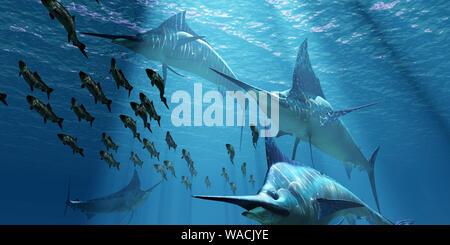 Un pacco di Indo-pacifico Blue Marlin pesci predatori hunt una scuola di aringa del Pacifico pesce. Foto Stock