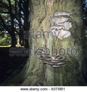 Oyster - Funghi Pleurotus ostreatus Foto Stock
