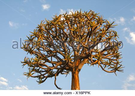 Faretra albero o Kocurboom (Aloe dichotoma), Namaqualand, Sud Africa e Africa Foto Stock