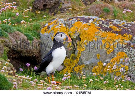 Atlantic puffin, comune puffin (Fratercula arctica), in piedi davanti alla sua grotta di allevamento, Regno Unito, Scozia, Fair Isle, Shetland-Inseln Foto Stock