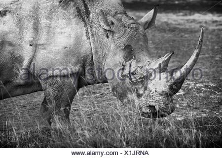 Singola bianca pascolo di Rhino: dettaglio della testa e la parte anteriore, vista laterale in monocromatico, Lake Nakuru, Kenya Foto Stock