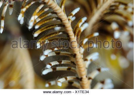 Close up dei bracci di una piuma star Foto Stock
