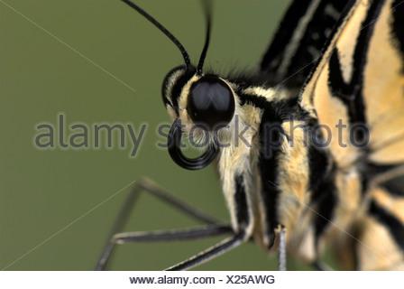 Lime a coda di rondine Butterfly Papilio demoleus Asia Foto Stock