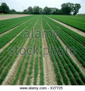 Guardando verso il basso le righe della carota raccolti a due stadi vicino a Ludwigshafen Germania Foto Stock