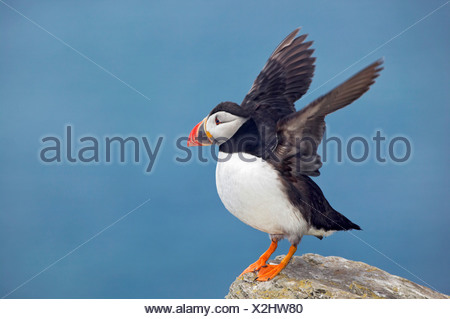 PUFFIN (Fratercula arctica) Isole Shiant. Outer Hebrides. Scozia Foto Stock