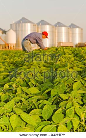 Uomo a metà della crescita campo di soia, contenitori del cereale(silos) in background, Lorette, Manitoba, Canada Foto Stock