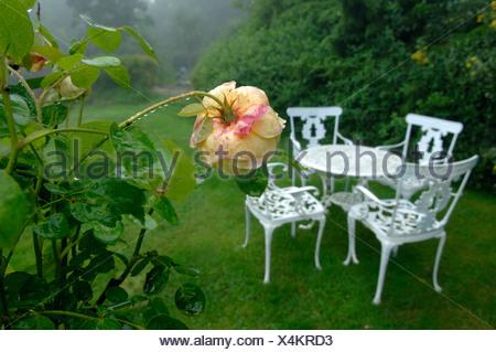 Gocce su un Charlotte rose fiore e tavolo e sedie da giardino in estate la pioggia Foto Stock