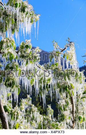 Blue sky sui frutteti di mele ricoperta di ghiaccio nella primavera villa di tirano provincia di Sondrio valtellina lombardia italia Europa Foto Stock