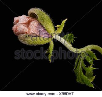 Close up di Papaver somniferum su sfondo nero Foto Stock