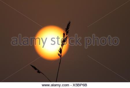 Silhouette di Erba Reed contro il tramonto Foto Stock