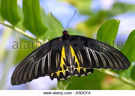 Farfalle tropicali (Troides helena), su un ramoscello Foto Stock