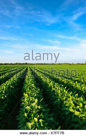 Agricoltura - metà sana crescita del raccolto di soia a metà estate / Iowa (USA). Foto Stock