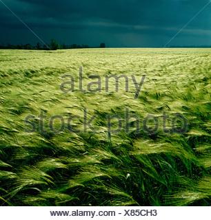 GB WILTSHIRE cielo tempestoso orzo campo nei pressi di Salisbury Foto Stock