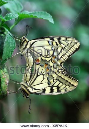 Close-up di una coniugata coppia di calce a coda di rondine (farfalle Papilio demoleus) nel lungo Sutton Butterfly House. Foto Stock