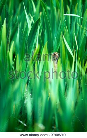 Re di Quaglie crex crex nascosto nel letto Iris Balranald riserva RSPB North Uist Ebridi Esterne della Scozia la molla Foto Stock