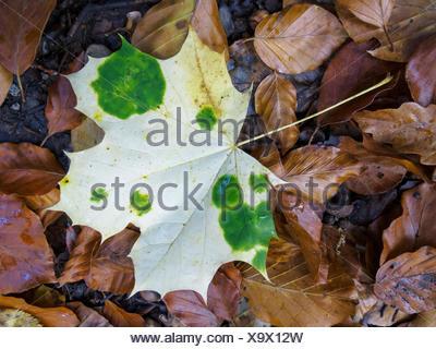 Spitzahorn, Spitz-Ahorn (Acer platanoides), herbstliches Ahornblatt am Boden mit gruenen Chlorophyllinseln, die durch Abgabe von Foto Stock