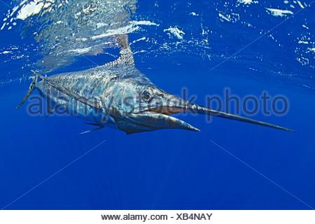 Marlin azzurro Makaira nigricans costa di Kona Big Island Pacific Ocean Hawaii USA Foto Stock