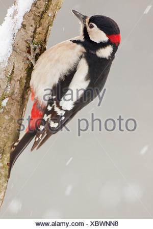 Picchio rosso maggiore - maschio in filiali / Dendrocopos major Foto Stock