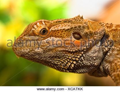 Ritratto di un barbuto dragon Foto Stock