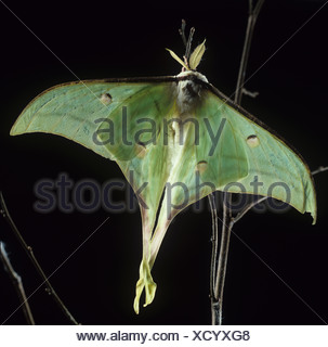 Luna Indiana moth Actias selene retroilluminato falena contro uno sfondo scuro Foto Stock