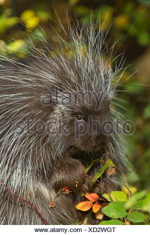 Porcupine (Erethizon dorsatum) nibble su Wild Rose hips in autunno, Montana, USA Foto Stock