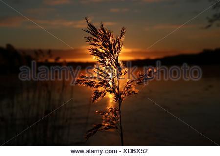 Silhouette Reed durante il tramonto Foto Stock