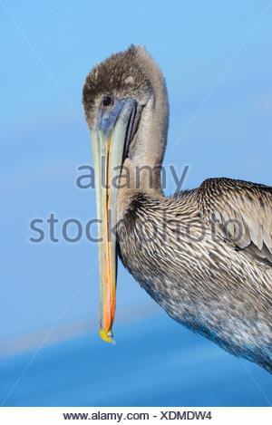 Stati Uniti d'America, Florida, Levy County, Cedar Key, Marrone Pelican, Pelecanus occidentalis Foto Stock